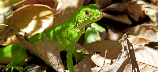Juvenile green iguana among the leaves in Manuel Antonio national park